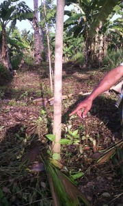 Rubber trees  cut down 2